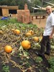 olly pumpkins