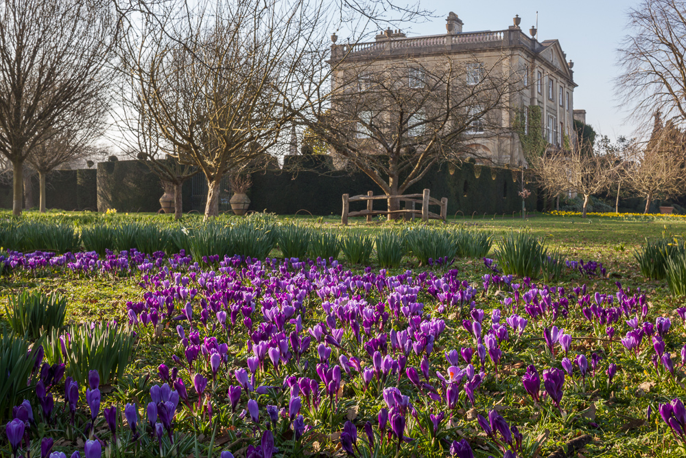 The garden at Highgrove. 12 March 2014; purple crocus in the meadow