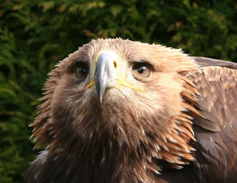 Stapleford Parks Merlin the Golden Eagle