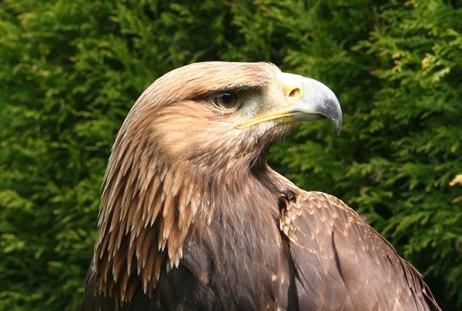 Stapleford Parks Merlin the Golden Eagle