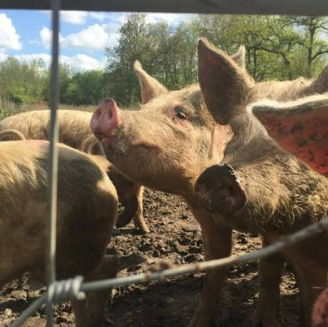 Great Fosters Pigs