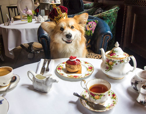 Corgi Tea Party at Sketch