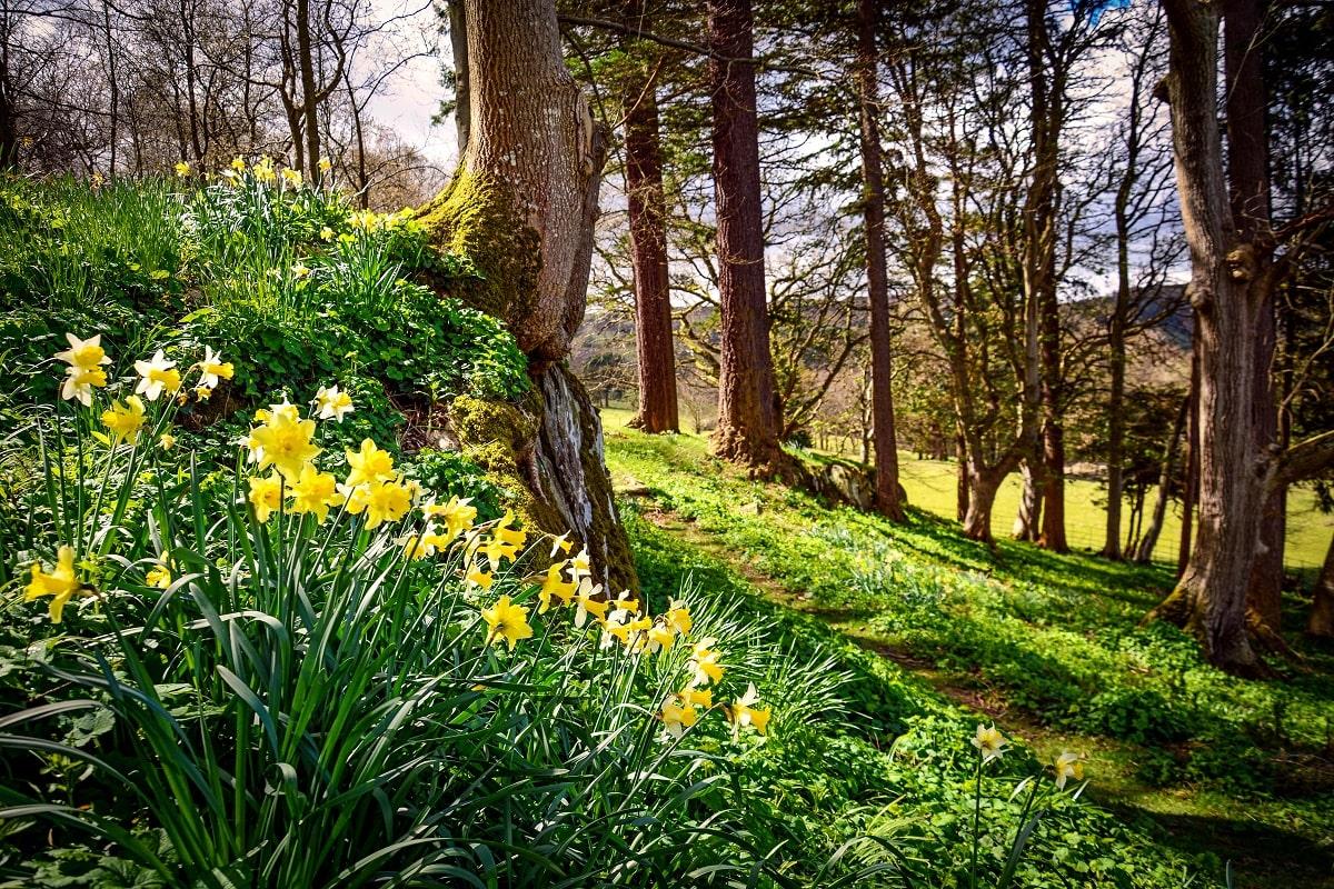 Pale-Hall-garden-daffodils-min